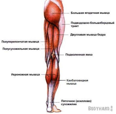 Строение мышц задней поверхности бедра
