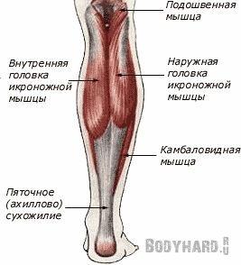 Строение икроножных и камбаловидных мышц голени