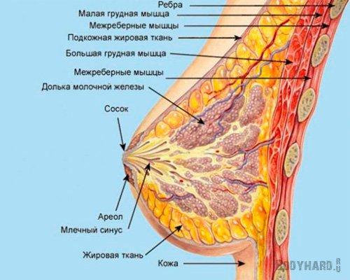 Строение женского бюста