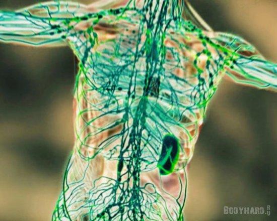 Функции лимфатической системы: иммунитет, детоксикация, поглощение жира.