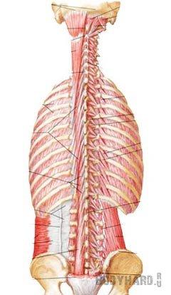 Глубокие мышцы - мышцы третьего слоя