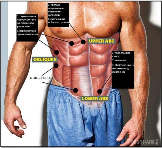 Строение мышц пресса и основные упражнения на них