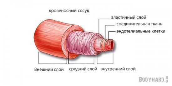 Сосудистый эндотелий