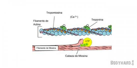 Накопление метаболитов и кальциевых каналов при высокой интенсивности кардио нагрузок