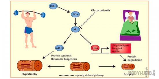 Гормональные эффекты HMB-FA