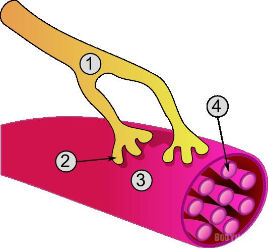 Строение клетки мышц. Миоциты